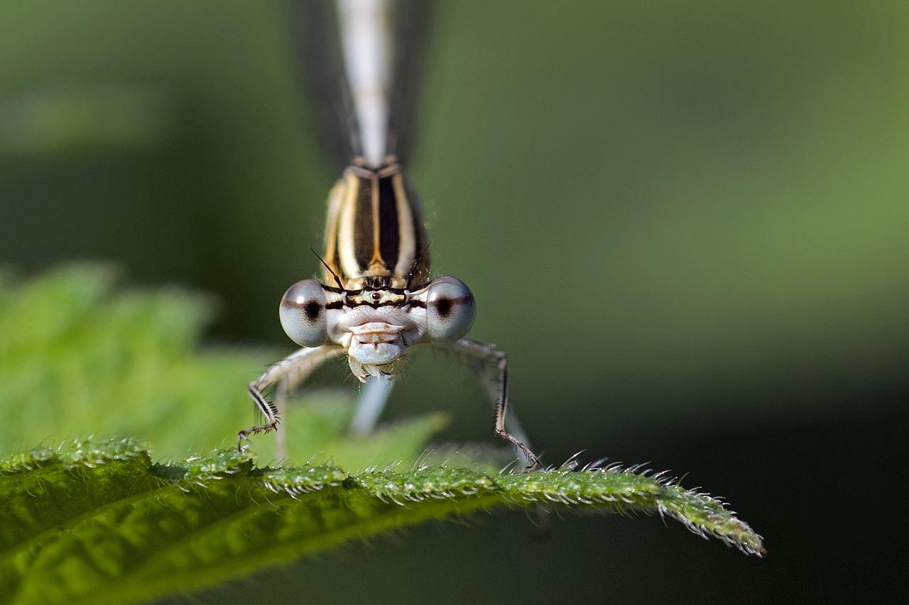 Oči vážky (Odonata spp.) vdetailu, zdroj fotografie: © Camera-man, Pixabay.com